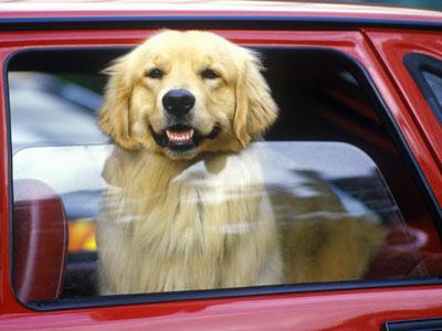 car-dog